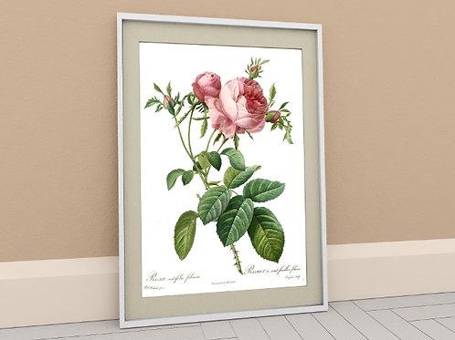 Pierre-Joseph Redouté,botânico,flores,flor,rosa,vermelha,quadro,poster,gravura,canvas,réplica,reprodução,tela,pintura,fototel