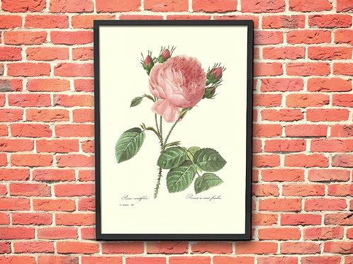 Pierre-Joseph Redouté,botânico,flores,flor,rosa,rosas,quadro,poster,gravura,canvas,réplica,reprodução,tela,pintura,fototel