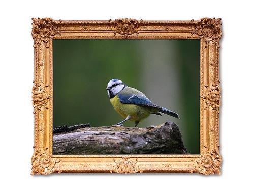fotografia,animais,animal,pássaro,passarinho,fototela,baratos,poster,gravura,reprodução,réplica,canvas,tela,pintura,fine art