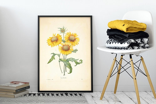 Pierre-Joseph Redouté,botânico,flores,flor,girassóis,quadro,poster,gravura,canvas,réplica,reprodução,tela,pintura,fototela