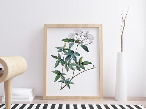Pierre-Joseph Redouté,botânico,flores,flor,rosa,branca,quadro,poster,gravura,canvas,réplica,reprodução,tela,pintura,fototela