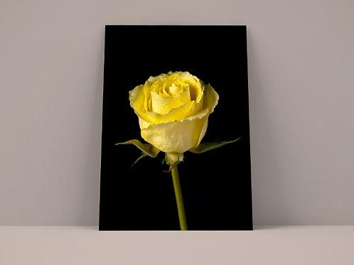 fotografia,Flores,Rosa Amarela,poster,gravura,fototela,reprodução,réplica,canvas,tela,pintura,fine art