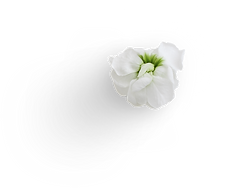 Petals - Stock #4.png