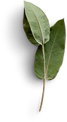 leaves-stem-small-eucalyptus-2.png
