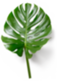 monstera leaf.png