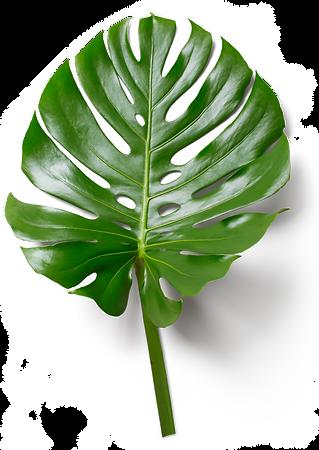monstera leaf.png