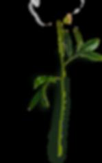 Peonies (2) - Stem Flatlay #4 (c).png