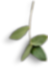 leaves-stem-small-eucalyptus-4.png