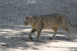חתול בר