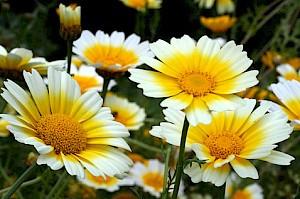 פרח לב הזהב