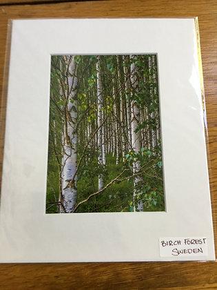 Birch Forest. Sweden