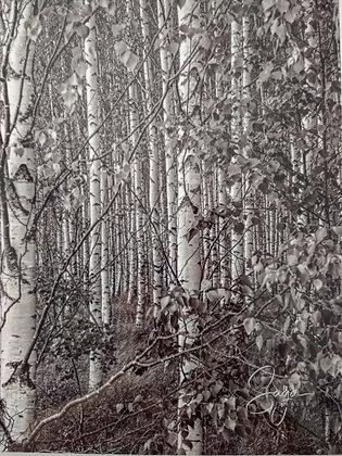 Birch Forest Sweden