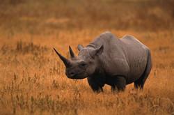 black-rhinocerous-in-open-field-10181997