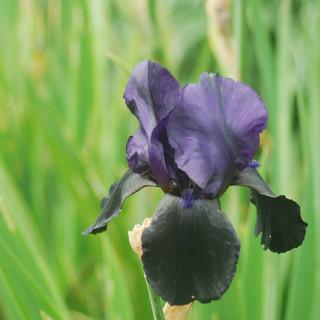 Black Iris - Chris.jpg