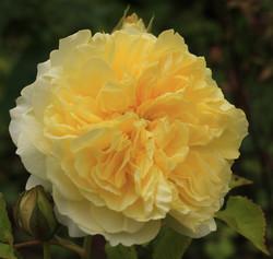 A Beautiful English Rose - Wendy