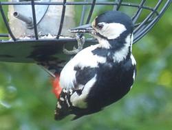 KF2 Off Camera - Woodpecker - Geoff