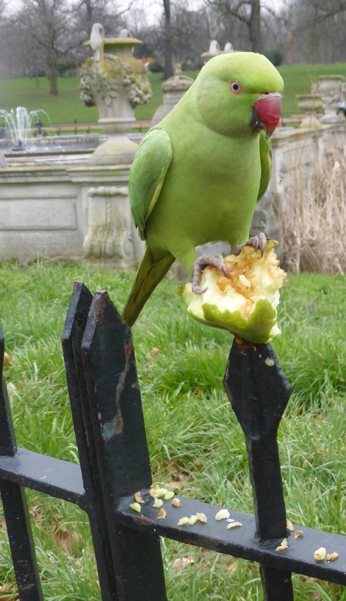 Parakeet - Ann
