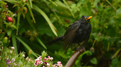 Blackbird Bit Damp - Mandy