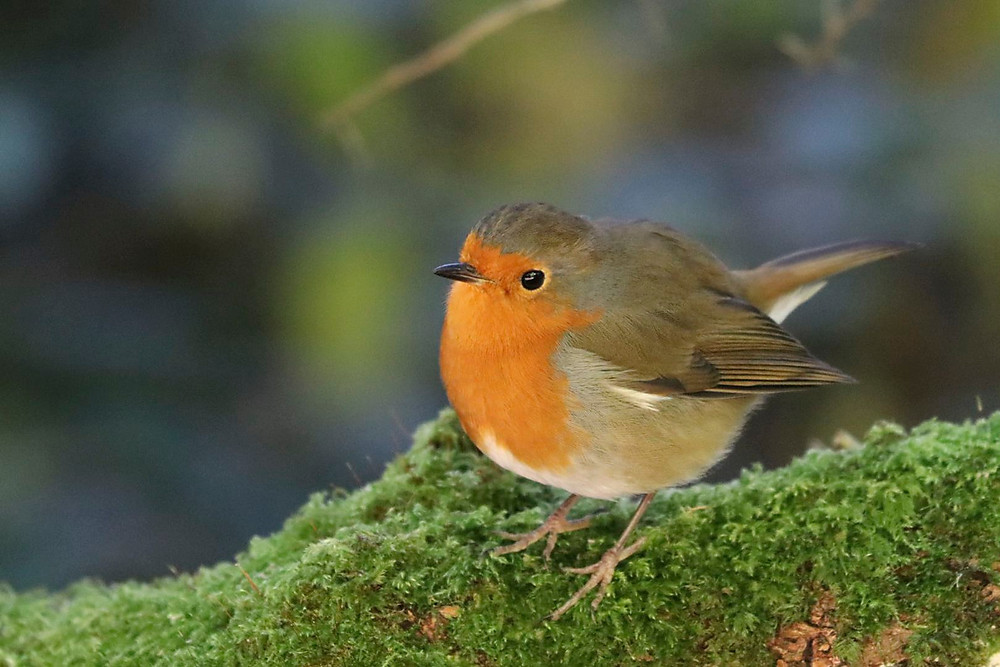 Robin on a green branch