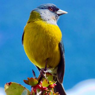 Yellow Bird - Jeanette.jpg