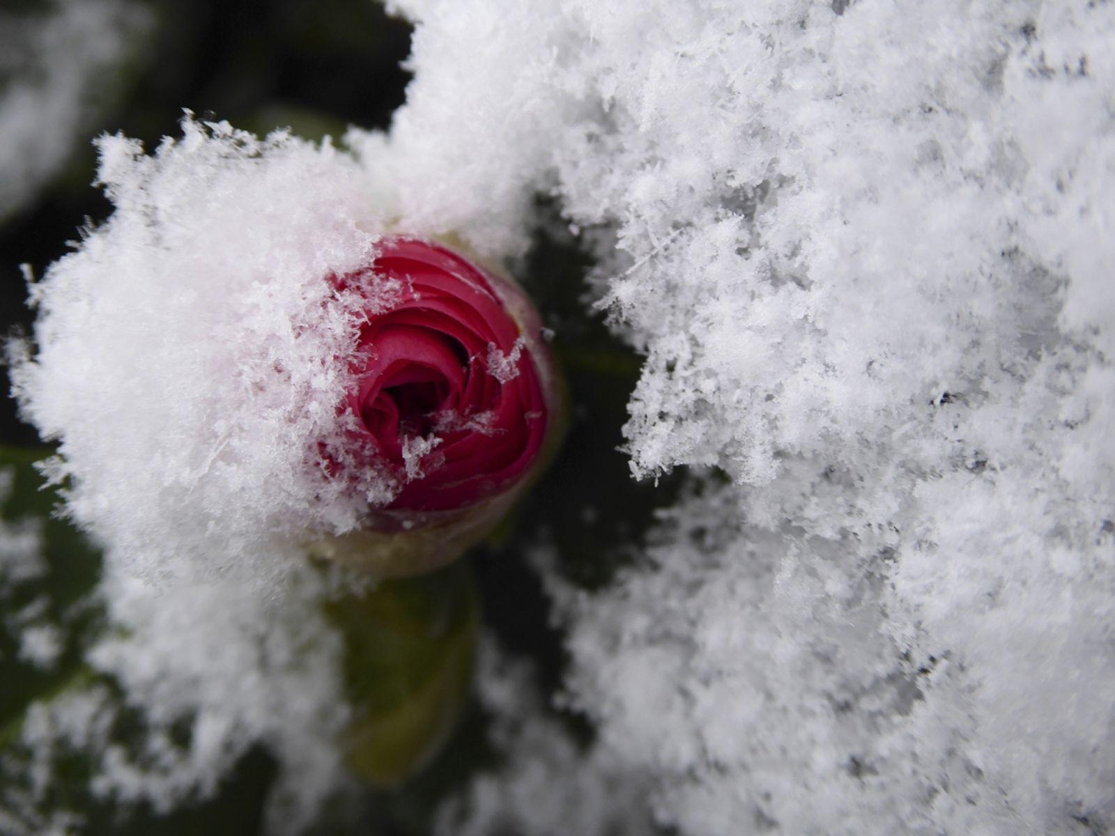 Snowy rose - Karen