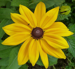 Yellow Dahlia - Julia