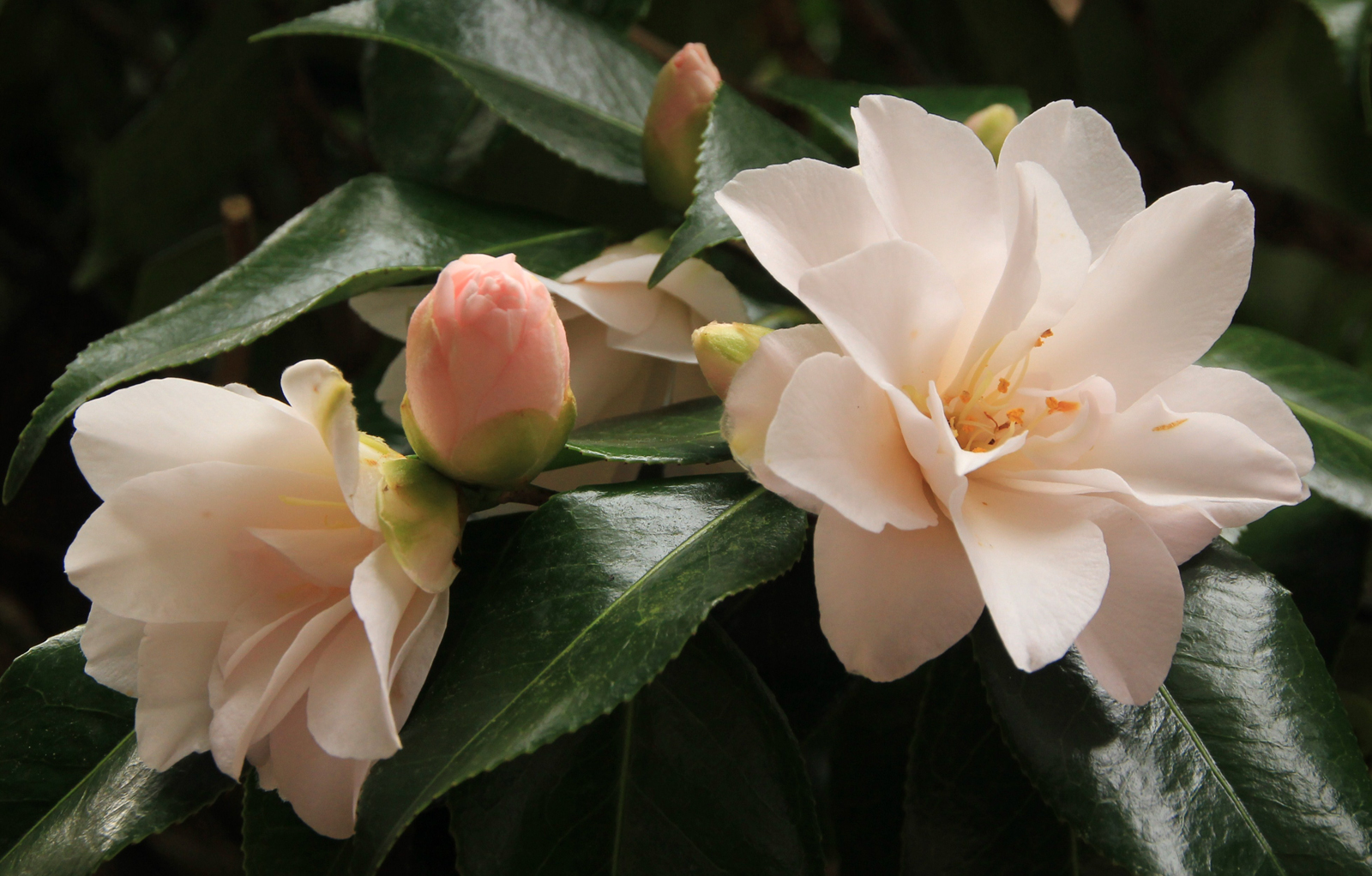 Camellias - Wendy