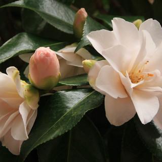 Camellias - Wendy.JPG