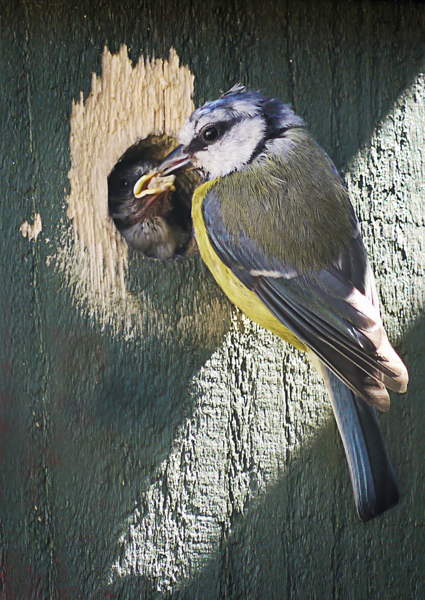 Tit feeding young - Wendy