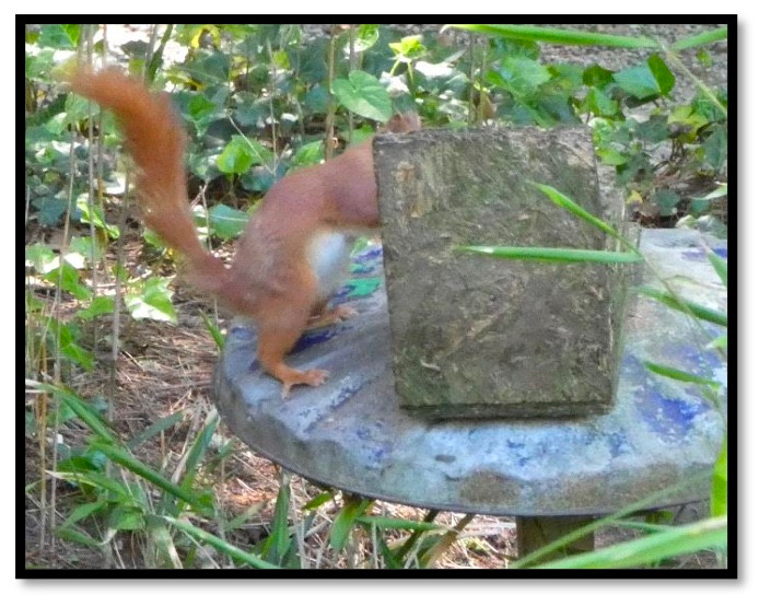 a red squirrel darting from one tree to another.