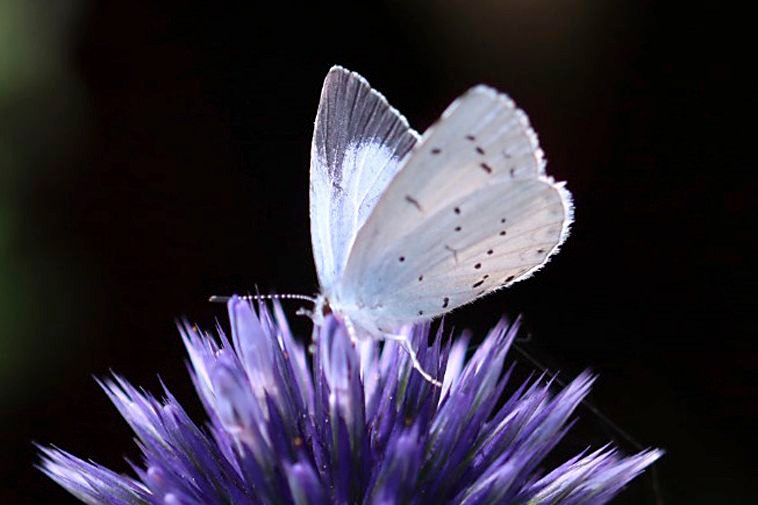 White Butterfly on a sauce flower