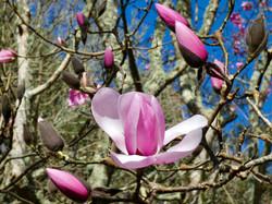 Colour Magnolia Resurgence - Janet