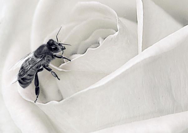 Winner - Bee on a Rose - Victor.jpg