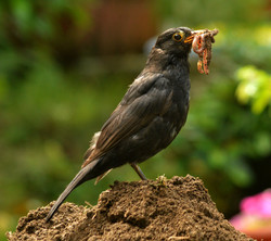 Colour Blackbird with Lunch - Mandy