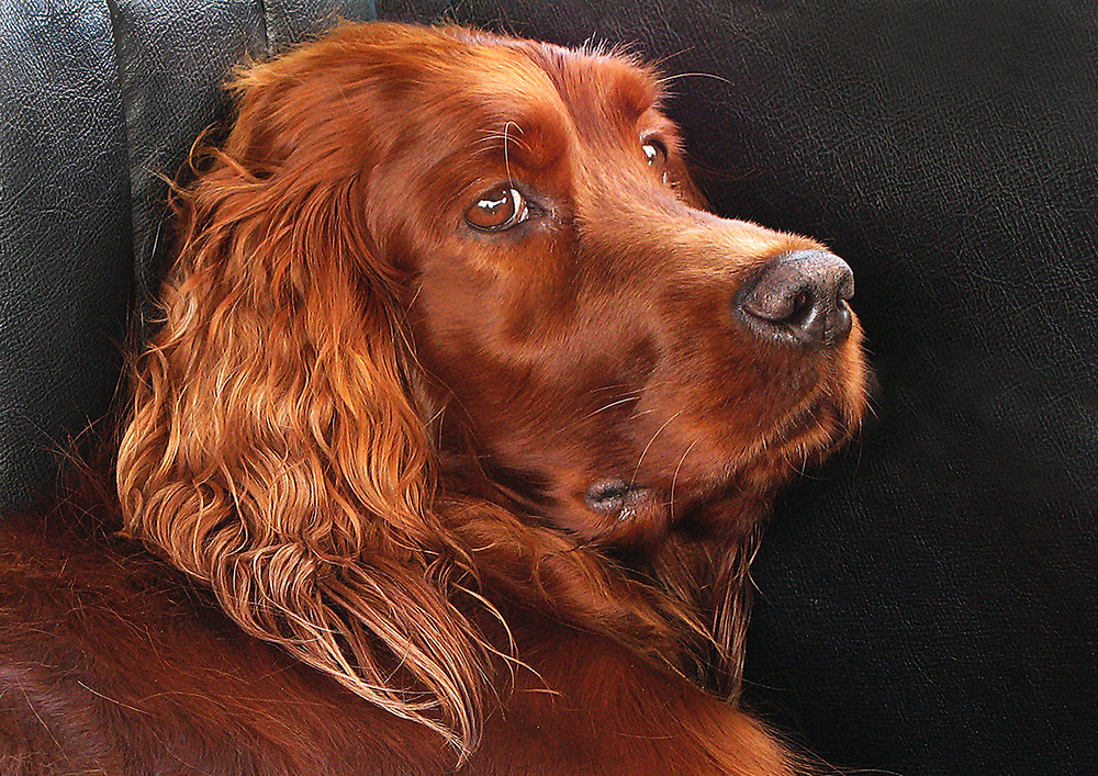 Red Setter by Geoff James