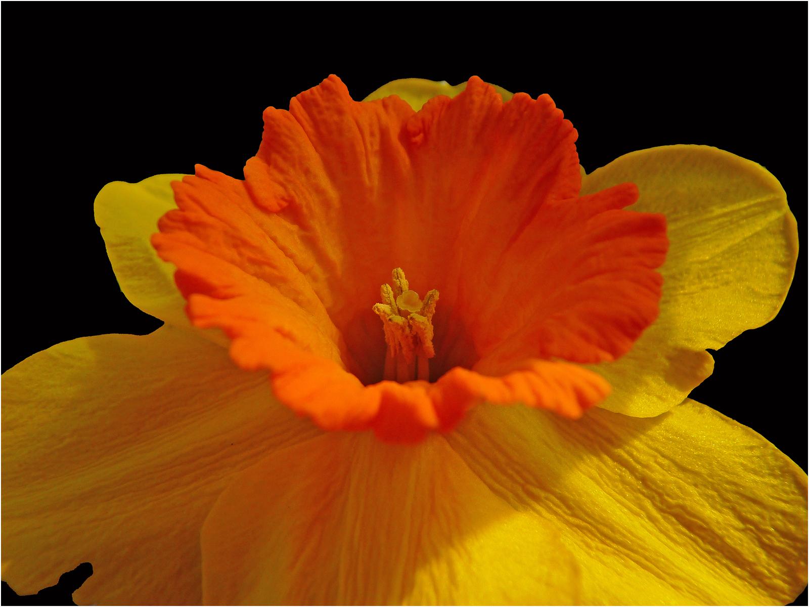 Golden Daffodil - Carol