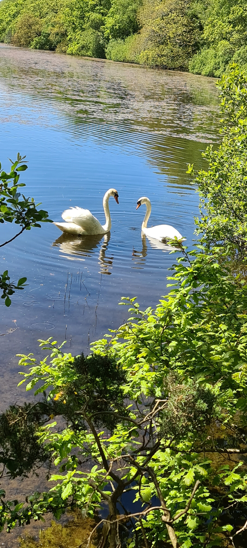 Swans Before