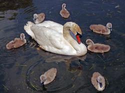 =2 Swan Burst - Carol