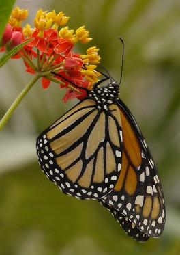 Winner - Monarch Butterfly - Wendy.jpg