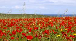 Poppy Field - Liz