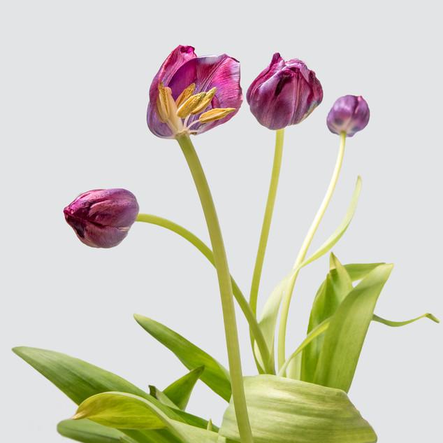 Tulips - Derek.jpg