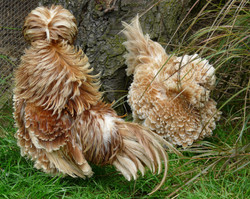 Headless chickens - Eve