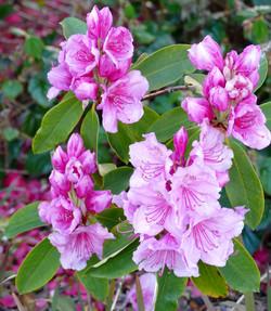 Rhododendron - Ann