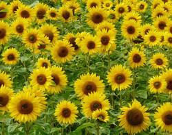 =1st Sunny side up - Eve