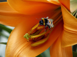 Colour Bee on a Lily - Wendy