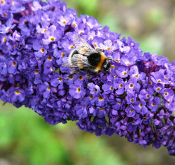 Busy Bee - Eve