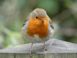 Cheeky Robin - Karen
