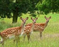 OffCam 1st - Oh Deer - Eve Govier