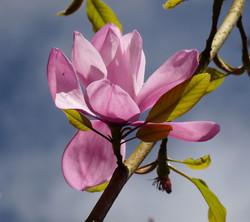 Colour Pink Magnolia - Carol