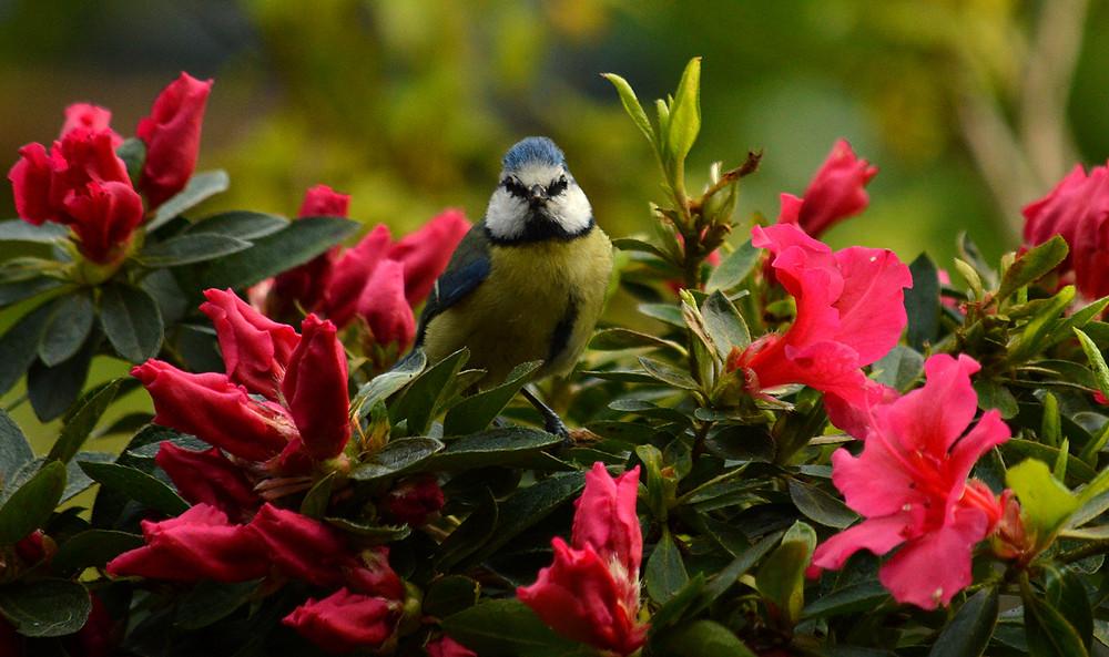 Blue Tit on a bush